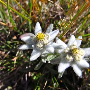 Edelweiss flowers on the Haute Route hiking tour Chamonix to Zermatt